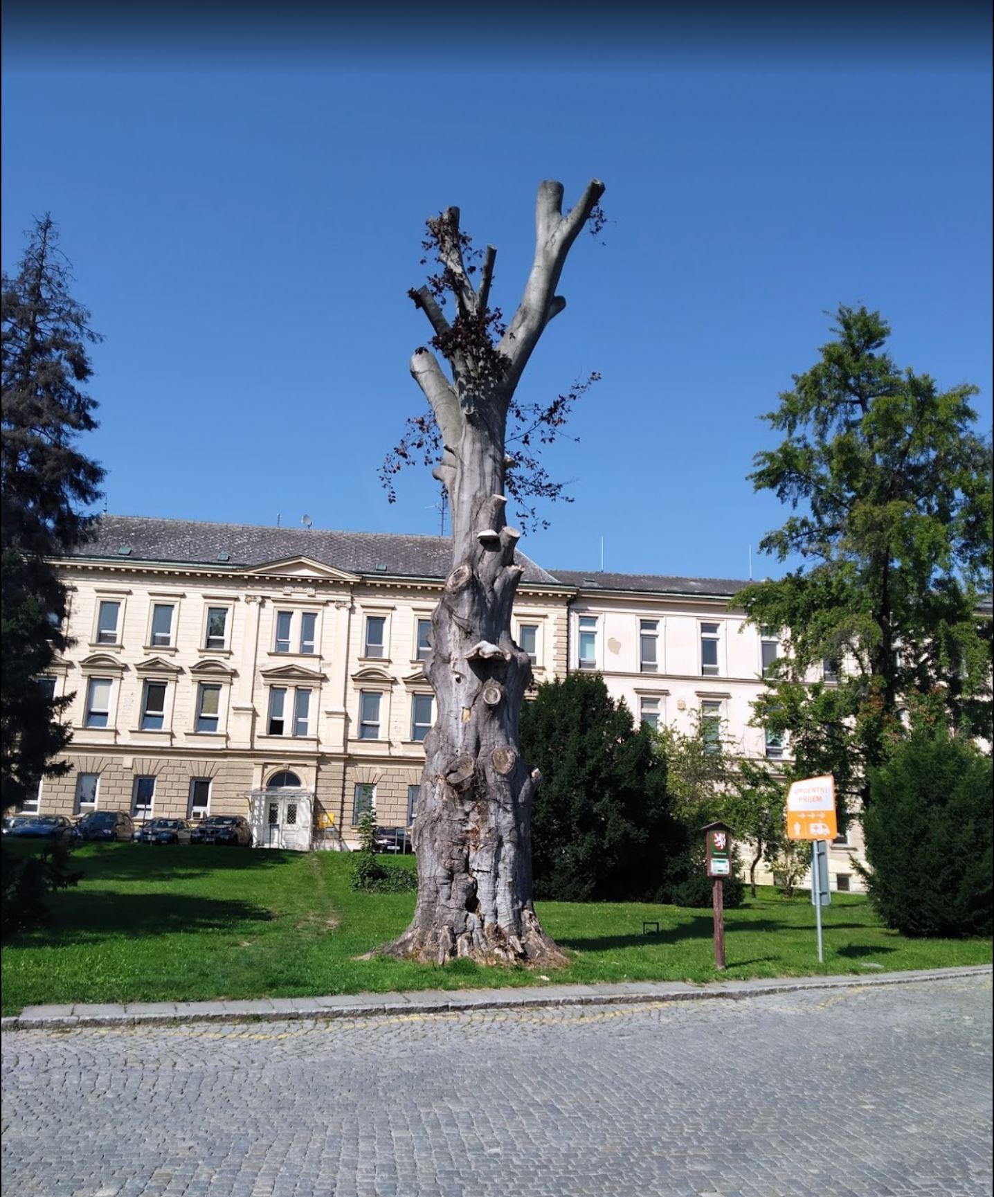 Památný strom Klopina