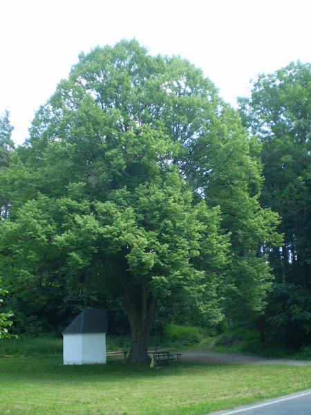 Památný strom Police