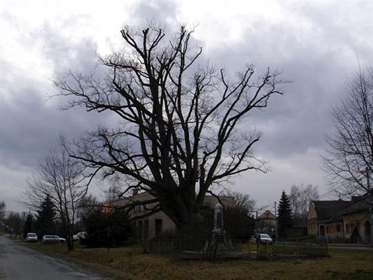 Dub v Újezdě u Mohelnice