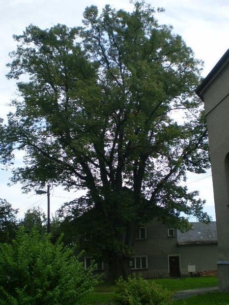 Památný strom Pavlov