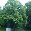 památný strom - lípa